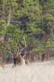Bull Elk Bedded in Meadow Royalty Free Stock Image
