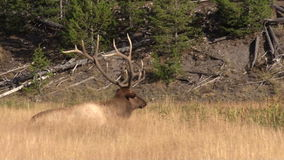 Bull Elk Bedded Scratching an Itch stock video footage