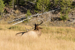 Bull Elk Bedded Scratching Stock Photography