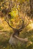 Bull Elk Bedded Royalty Free Stock Photos