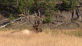 Bull Elk Bedded in Tall Grass stock footage