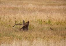 Bull Elk Bedded in Tall Grass Royalty Free Stock Image