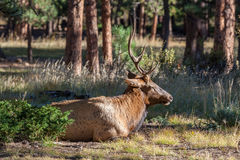 Bull Elk Bedded in Timber Royalty Free Stock Photo