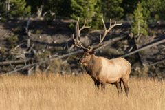 Bull Elk Royalty Free Stock Photos