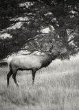 Bull elk breath Stock Images