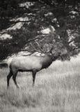 Bull elk breath Stock Images
