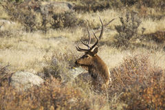 Bull Elk in brush. A bull elk bedded in a tall brush Royalty Free Stock Images