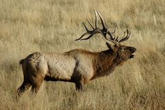 Bull Elk Bugling 2. A bull elk bugling in Yellowstone National Park, Wyoming Stock Photography