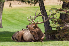 Bull Elk Bugling While Bedded Royalty Free Stock Photography