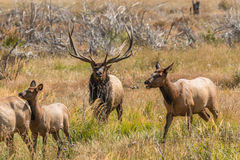 Bull Elk Bugling Stock Images