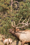 Bull Elk Bugling Close Up Royalty Free Stock Photography
