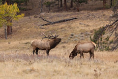 Bull Elk Bugling at a Cow Royalty Free Stock Photos