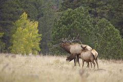 Bull Elk Bugling and Cows Stock Photo