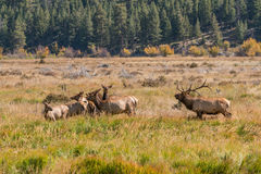 Bull Elk Bugling at Cows Royalty Free Stock Photo
