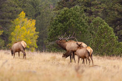 Bull Elk Bugling at Cows in Rut Stock Images