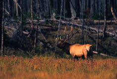 Bull Elk Bugling in Fall Stock Image