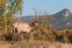 Bull Elk Bugling Stock Image