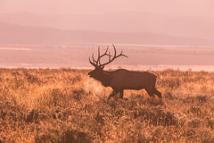 Bull Elk Bugling Royalty Free Stock Images