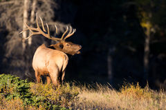 Bull elk bugling by forest Royalty Free Stock Images