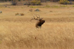 Bull elk bugling in golden meadow of Rocky Mountains Stock Images