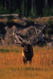 Bull Elk Bugling in Meadow Royalty Free Stock Photography