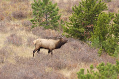 Bugling Bull Elk in Meadow Stock Images