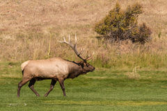 Bull Elk Bugling in a Meadow Royalty Free Stock Photo