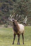 Bull Elk Bugling Royalty Free Stock Photography