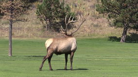 Bull Elk Bugling stock video footage