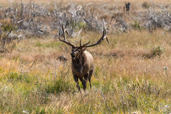 Bull Elk Bugling in Meadow Stock Photo