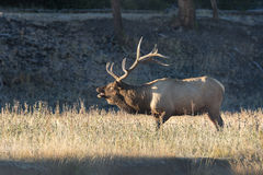 Bull Elk Bugling in Meadow in Rut Stock Photos