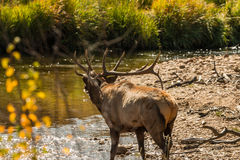 Bull Elk Bugling Stock Photo
