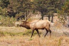 Bull Elk Bugling Royalty Free Stock Image