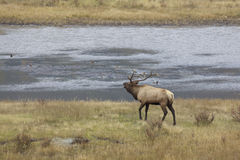 Bull Elk Bugling by Pond Stock Images