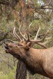 Bull Elk Bugling Portrait Royalty Free Stock Image