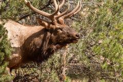Bull Elk Bugling Portrait Stock Image