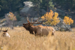 Bull Elk Bugling in Rut Royalty Free Stock Photos