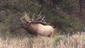 Bull Elk Bugling in Rut stock video footage