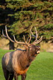 Bull Elk Bugling Royalty Free Stock Photo