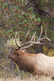 Bull Elk Bugling in rut Royalty Free Stock Photography