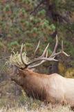 Bull Elk Bugling in rut Royalty Free Stock Photography