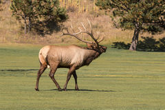Bull Elk Bugling in the Rut Royalty Free Stock Photos