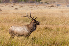 Bull Elk Bugling in Rut Stock Photography