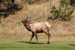 Bull Elk Bugling in Rut Stock Photography