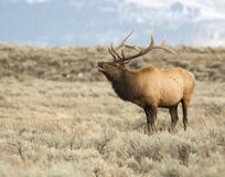 Bull elk bugling during rut in sagebrush Stock Images