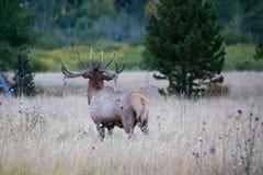 Bull elk bugling at sundown Royalty Free Stock Image