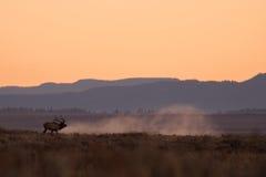 Bull Elk Bugling at Sunrise Stock Photography