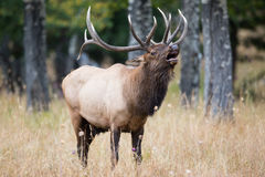 Bull elk bugling by timbers stock photos