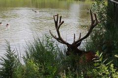 Bull Elk royalty free stock photography
