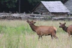 Bull elk calling stock image